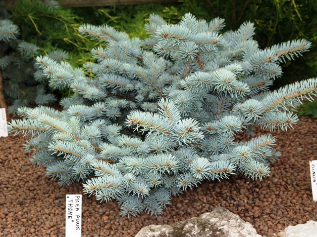 Picea pungens 'Thuem'