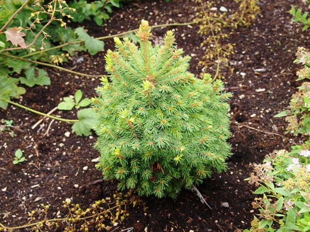 Picea x saaghii 'Hexenbesen'