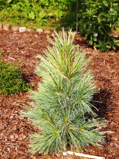 Pinus x schwerinii 'Wiethorst'