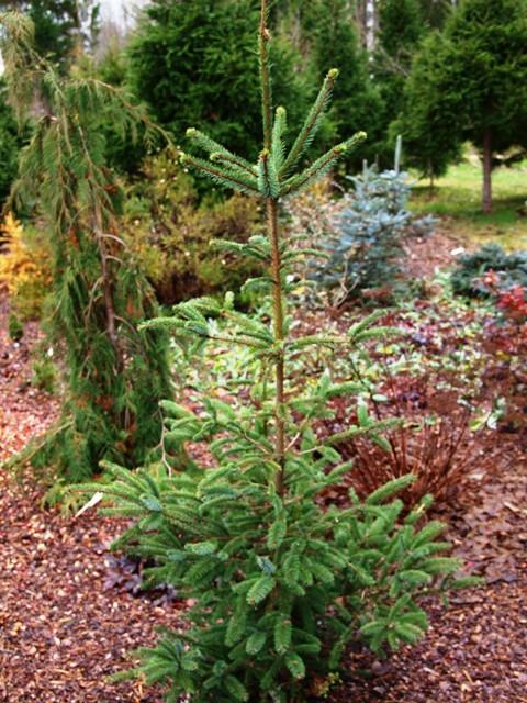 Picea sitchensis 'Stenberg Brobeck2'