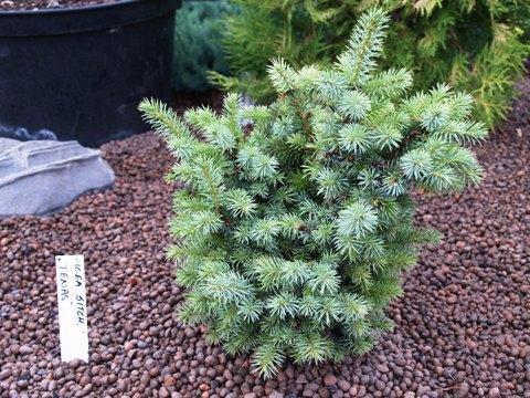 Picea sitchensis 'Tenas (Papoose)'