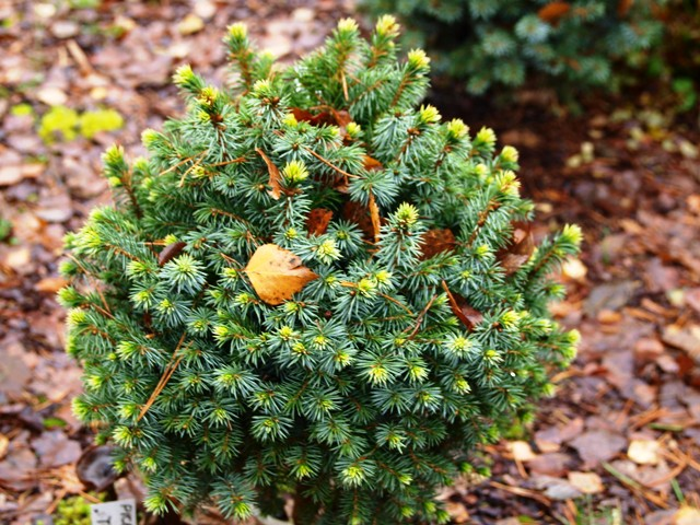Picea sitchensis 'Trinket'