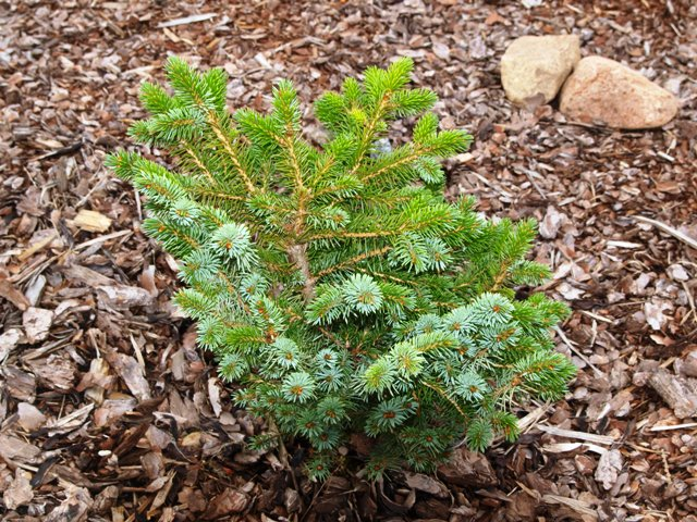 Picea sitchensis 'Wiejse'
