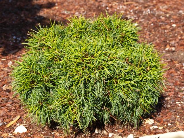 Pinus strobus 'Green Twist'