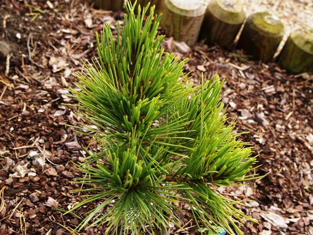 Pinus strobiformis 'Loma Linda'