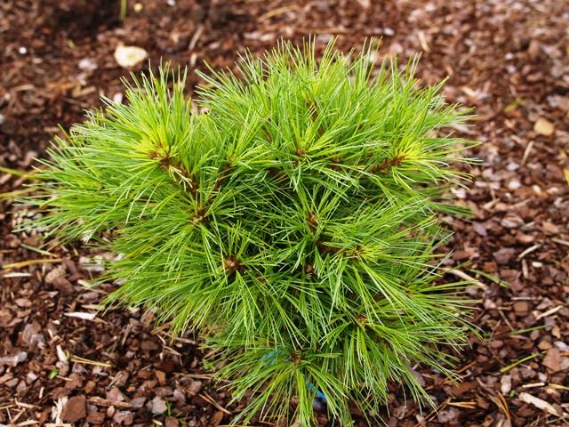 Pinus strobus 'Northway Broom'