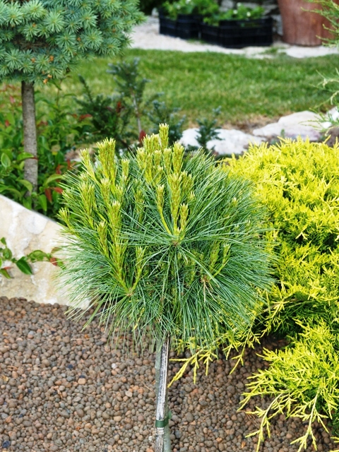 Pinus strobus 'Ontario'