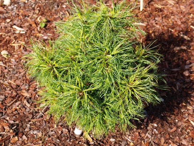 Pinus strobus 'Tiny Curls'