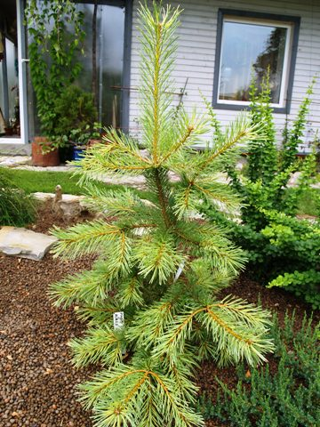 Pinus sylvestris 'Aurea Nisbet'