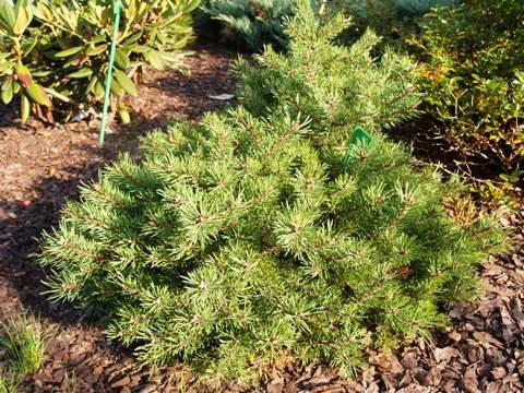 Pinus sylvestris 'Little Brany'
