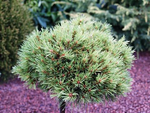 Pinus sylvestris 'Pixie'