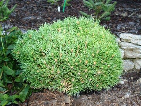 Pinus sylvestris 'Minima'
