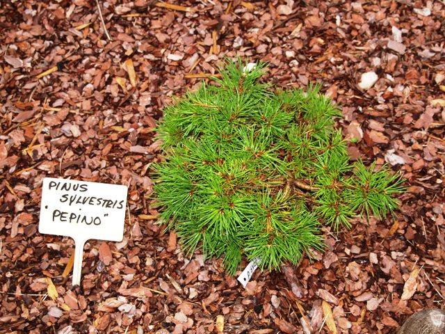 Pinus sylvestris 'Pepino'