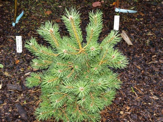Pinus sylvestris 'Punica'