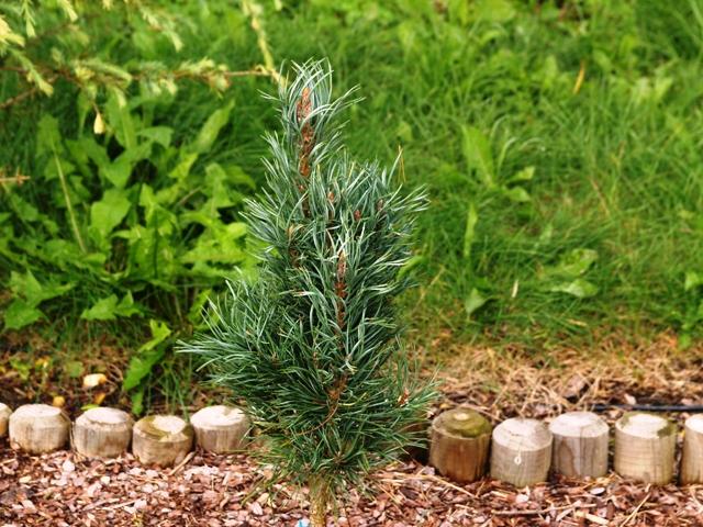 Pinus sylvestris 'Spaan's Slow Column'