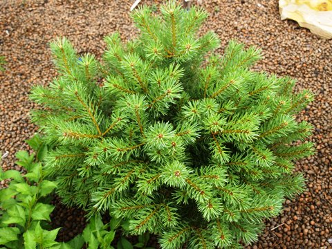 Pinus sylvestris 'Wenstrobit'