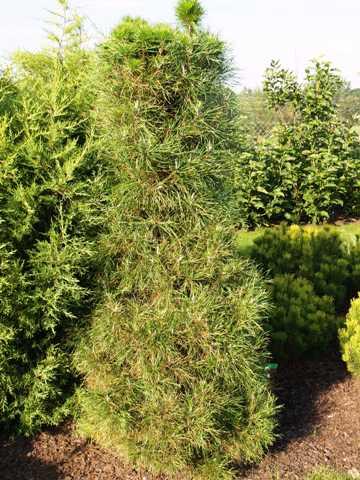 Pinus sylvestris 'Xavery'