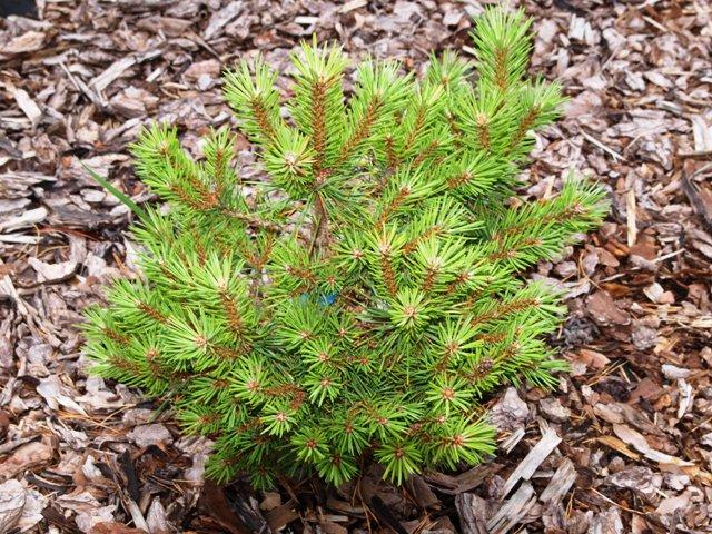 Pinus sylvestris 'Yola'