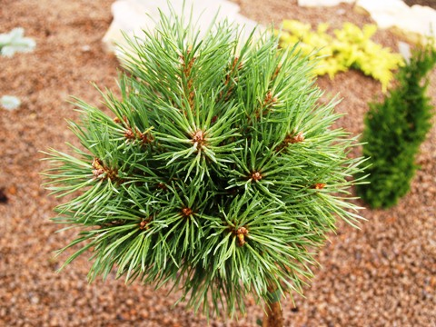 Pinus sylvestris 'Juto'