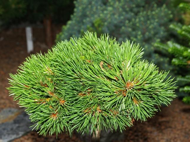 Pinus mugo 'Glüss HB'