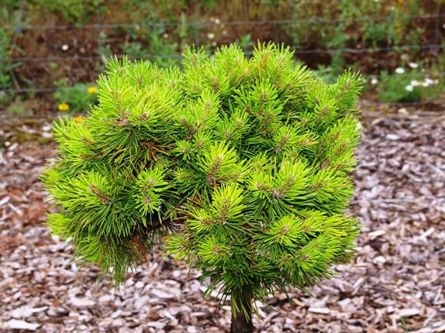 Pinus mugo 'Grüne Welle'