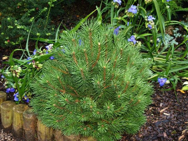 Pinus mugo 'Hnizdo'