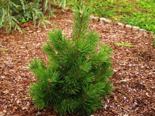 Pinus mugo 'Korbal'