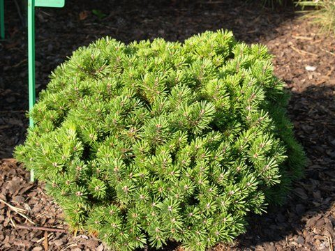 Pinus mugo 'Kostelniček'
