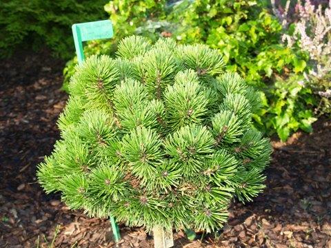 Pinus mugo 'Nana Compacta'