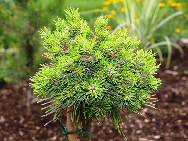 Pinus mugo 'Pepik'