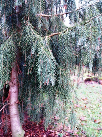 Picea breweriana