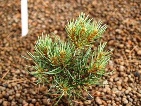 Pinus monophylla 'Tioga Pass'