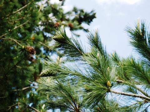 Pinus strobiformis