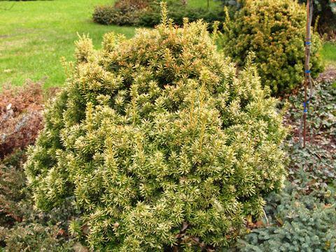 Taxus baccata 'Aurea'