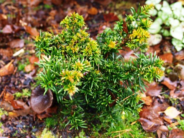 Taxus baccata 'Cristata'