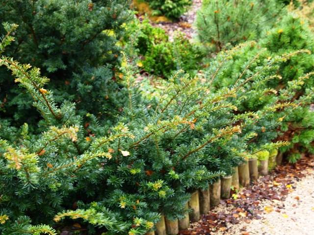Taxus baccata 'Fairwiew'