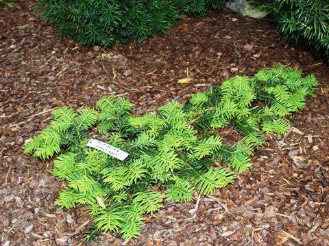 Taxus baccata 'Repens Aurea'