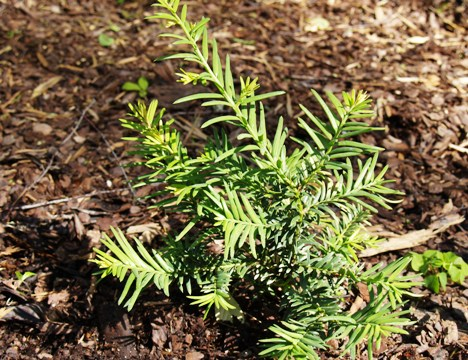 Taxus baccata 'Silver Queen'