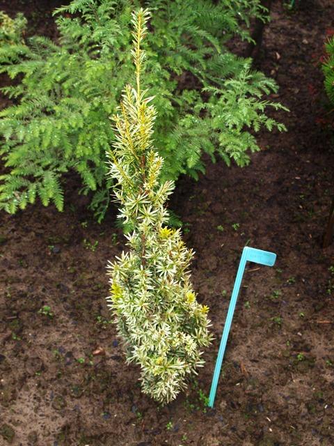 Taxus baccata 'White Pillar'