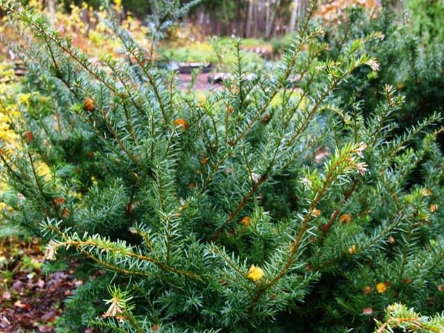 Taxus cuspidata 'Nigra'