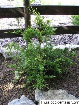 Thuja occidentalis 'Lori'