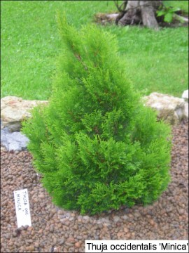 Thuja occidentalis 'Minica'