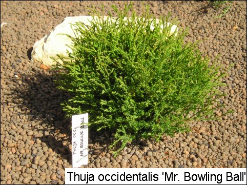 Thuja occidentalis 'Mr Bowling Ball'