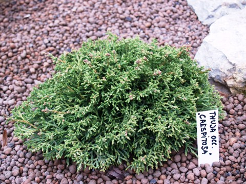Thuja occidentalis 'Caespitosa'