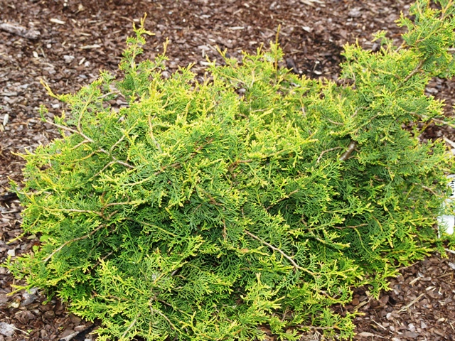 Thuja occidentalis 'Chris'