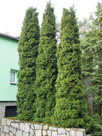 Thuja occidentalis 'Columna'