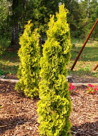 Thuja occidentalis 'Columna Aurea'
