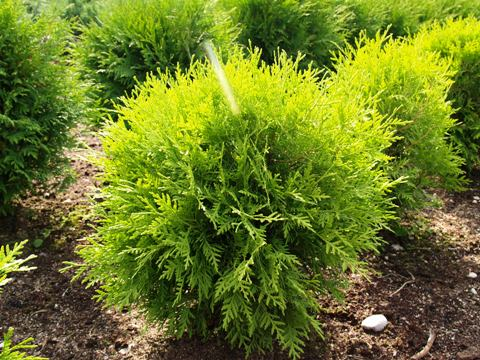Thuja occidentalis 'Globosa Aurea'