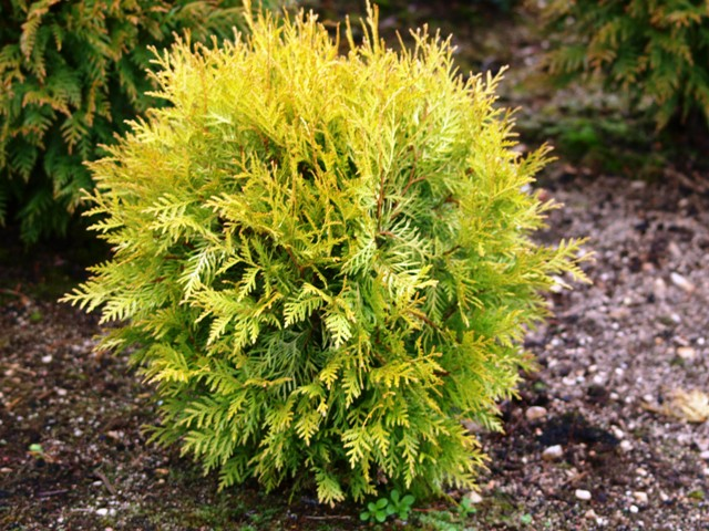 Thuja occidentalis 'Globosa Lutea'