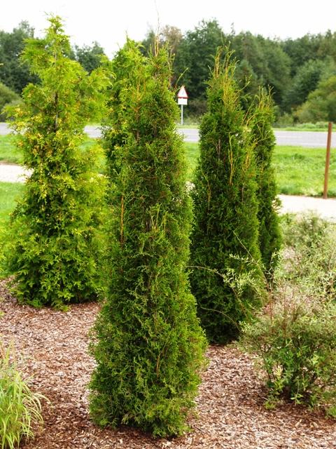 Thuja occidentalis 'Green Pillar'